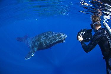Humpback Whale (Megaptera novaeangliae) researcher Jason Sturgis filming friendly whale, Humpback Whale National Marine Sanctuary, Maui, Hawaii - notice must accompany publication; photo obtained unde...  -  Flip  Nicklin