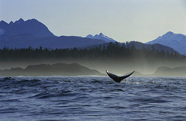 Gray Whale (Eschrichtius robustus) tail off of Vancouver Island, Canada  -  Flip  Nicklin