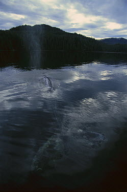 Gray Whale (Eschrichtius robustus) sufacing in Clayoquot Sound, Vancouver Island, Canada  -  Flip  Nicklin