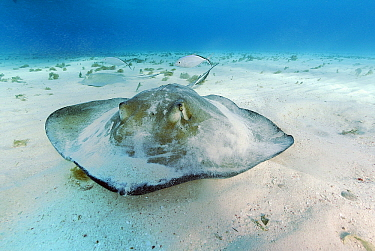 Southern Stingray (Dasyatis americana) at Stingray City, Cayman Islands, Caribbean Sea  -  Hans Leijnse/ NiS