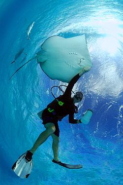 Southern Stingray (Dasyatis americana) and scuba diver at Stingray City, Cayman Islands, Caribbean Sea  -  Hans Leijnse/ NiS