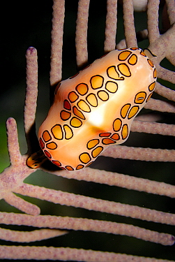 Flamingo Tongue Snail (Cyphoma gibbosum) snail on coral showing extended mantle, Cayman Islands, Caribbean Sea  -  Hans Leijnse/ NiS