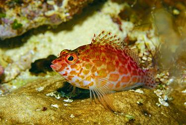 Dwarf Hawkfish (Cirrhitichthys falco) on coral, Indonesia  -  Hans Leijnse/ NiS