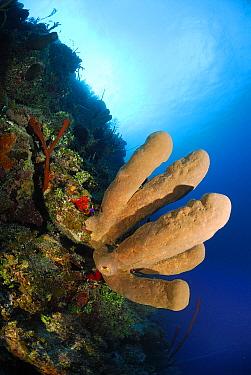 Brown Tube Sponge (Agelas conifera) on coral reef, Cayman Islands, Caribbean Sea  -  Hans Leijnse/ NiS