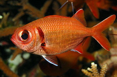 Crimson Soldierfish (Myripristis murdjan), Indonesia  -  Hans Leijnse/ NiS