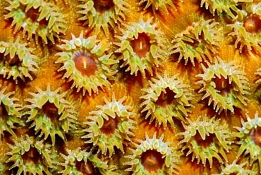 Great Star Coral (Montastraea cavernosa) polyps, Cayman Islands, Caribbean Sea  -  Hans Leijnse/ NiS