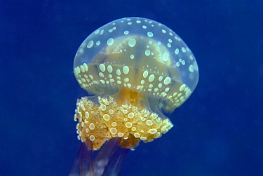 Papuan Jellyfish (Mastigias papua) bell and feeding tentacles, Indonesia  -  Hans Leijnse/ NiS