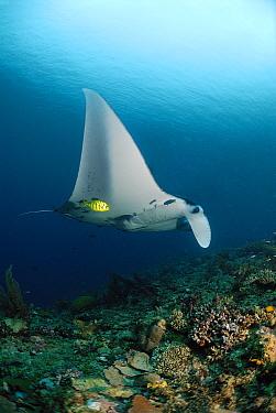 Manta Ray (Manta birostris) swimming over coral reef, Indonesia  -  Hans Leijnse/ NiS