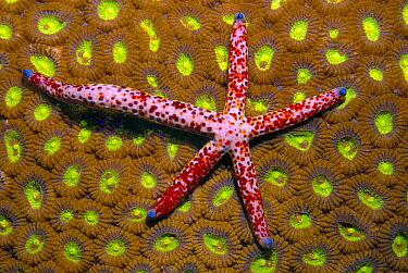 Linckia (Linckia sp) sea star regenerated from a single arm, Indonesia  -  Hans Leijnse/ NiS