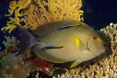 Blue-streaked Cleaner Wrasse (Labroides dimidiatus) cleaning Elongate Surgeonfish (Acanthurus mata), Indonesia  -  Hans Leijnse/ NiS
