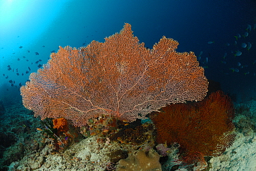 Common Sea Fan (Gorgonia ventalina) on coral reef, Indonesia  -  Hans Leijnse/ NiS