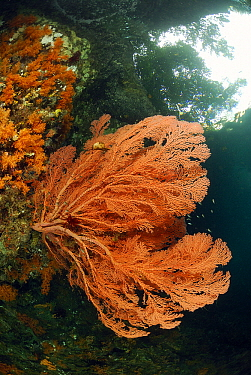 Common Sea Fan (Gorgonia ventalina) growing on coral reef, Indonesia  -  Hans Leijnse/ NiS