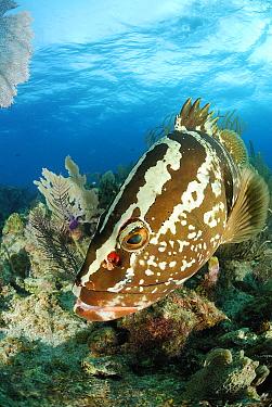 Nassau Grouper (Epinephelus striatus), Cayman Islands, Caribbean Sea  -  Hans Leijnse/ NiS