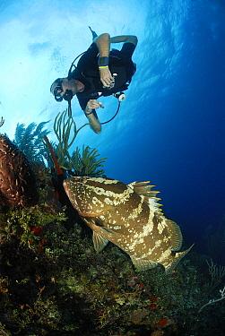 Nassau Grouper (Epinephelus striatus) with scuba diver, Cayman Islands, Caribbean Sea  -  Hans Leijnse/ NiS