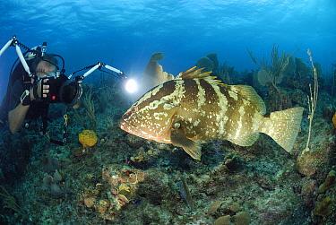 Nassau Grouper (Epinephelus striatus) with underwater photographer, Cayman Islands, Caribbean Sea  -  Hans Leijnse/ NiS