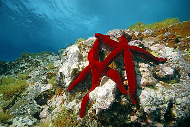 Red Starfish (Echinaster sepositus) pair on reef, Mediterranean Sea  -  Hans Leijnse/ NiS