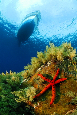 Red Starfish (Echinaster sepositus) on reef with boat above, Mediterranean Sea  -  Hans Leijnse/ NiS