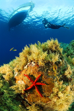 Red Starfish (Echinaster sepositus) on reef near diver and boat, Mediterranean Sea  -  Hans Leijnse/ NiS