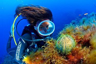 Sea Urchin (Sphaerechinus granularis) with scuba diver, Mediterranean Sea  -  Hans Leijnse/ NiS
