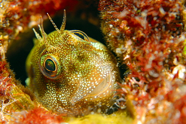 Jewelled Blenny (Salarias fasciatus) peeking out of burrow, Indonesia  -  Hans Leijnse/ NiS