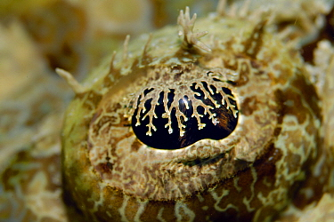 Tentacled Flathead (Papilloculiceps longiceps) showing camouflaging lappet covering the eye, Indonesia  -  Hans Leijnse/ NiS