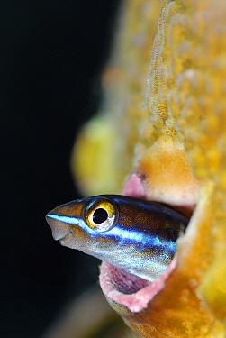 Blue-striped Blenny (Plagiotremus rhinorhynchos), Indonesia  -  Hans Leijnse/ NiS