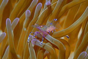 Shrimp (Periclimenes sp) in anemone, Indonesia  -  Hans Leijnse/ NiS