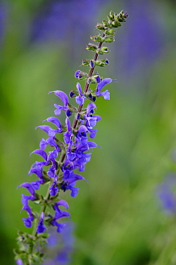 Meadow Clary (Salvia pratensis) flower, Hoogeloon, Noord-Brabant, Netherlands  -  Silvia Reiche