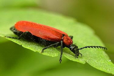 Cardinal Beetle (Pyrochroa coccinea) on leaf, Hallerbos, Belgium  -  Silvia Reiche