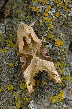 Angle Shades (Phlogophora meticulosa) butterfly camouflaged on tree bark, Hoogeloon, Noord-Brabant, Netherlands  -  Silvia Reiche