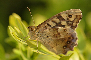 Speckled Wood (Pararge aegeria) butterfly, Hoogeloon, Noord-Brabant, Netherlands  -  Silvia Reiche