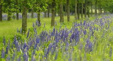 Narrow-leaved Blue Lupin (Lupinus angustifolius) flowering at edge of field and forest, Eesveen, Steenwijk, Overijssel, Netherlands  -  Jan van Arkel/ NiS