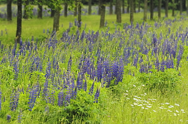 Narrow-leaved Blue Lupin (Lupinus angustifolius) as a remnant of green-fertilizing fields, Eesveen, Steenwijk, Overijssel, Netherlands  -  Jan van Arkel/ NiS