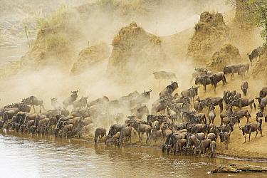 Blue Wildebeest (Connochaetes taurinus) herd drinking at edge of Mara River during migration, Masai Mara National Reserve, Tsavo East, Kenya  -  Winfried Wisniewski