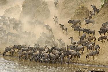 Blue Wildebeest (Connochaetes taurinus) herd drinking at the Mara River during migration, Masai Mara National Reserve, Tsavo East, Kenya  -  Winfried Wisniewski