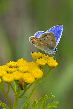 Common Blue (Polyommatus icarus) butterfly male feeding on Curled Tansy (Tanacetum vulgare) flower nectar, Wieringen, Noord-Holland, Netherlands  -  Bert Pijs/ NIS