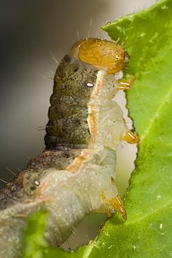 Spotted Cutworm (Xestia c-nigrum) caterpillar eating leaf, Den Helder, Noord-Holland, Netherlands  -  Bert Pijs/ NIS