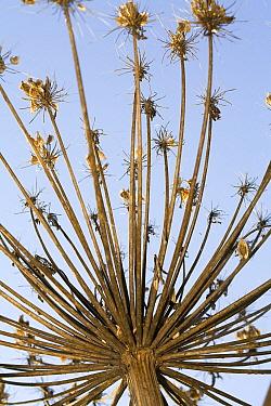 Giant Hogweed (Heracleum mantegazzianum) seed head, Gulpen, Limburg, Netherlands  -  Bert Pijs/ NIS