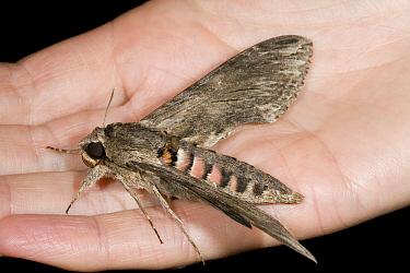 Convolvulus Hawk-moth (Agrius convolvuli) on hand, Den Helder, Noord-Holland, Netherlands  -  Bert Pijs/ NIS