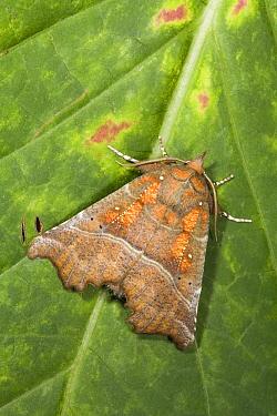 Herald Moth (Scoliopteryx libatrix), Den Helder, Noord-Holland, Netherlands  -  Bert Pijs/ NIS