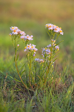 Sea Aster (Aster tripolium) flowering, Den Helder, Noord-Holland, Netherlands  -  Bert Pijs/ NIS