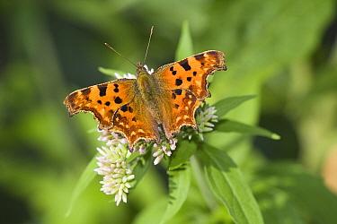 Comma (Polygonia c-album) butterfly sitting on Hemp Agrimony (Eupatorium cannabinum), Den Helder, Noord-Holland, Netherlands  -  Bert Pijs/ NIS