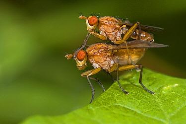 Marsh Fly (Sciomyzidae) pair mating, Vijverbroek, Limburg, Netherlands  -  Loek Gerris/ NiS
