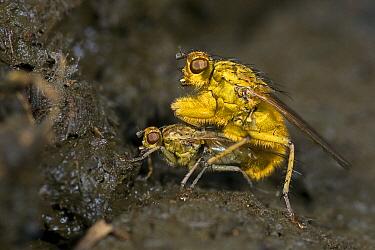 Yellow Dung Fly (Scathophaga stercoraria) pair mating on cow dung, Vijverbroek, Limburg, Netherlands  -  Loek Gerris/ NiS