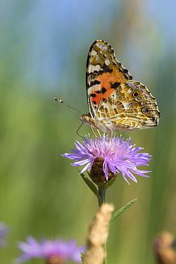 Painted Lady (Vanessa cardui) butterfly feeding on flower nectar, De Krang, Limburg, Netherlands  -  Loek Gerris/ NiS
