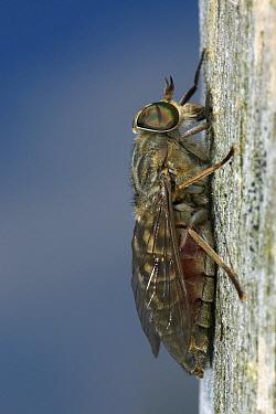 Gadfly (Tabanus bromius), De Krang, Limburg, Netherlands  -  Loek Gerris/ NiS