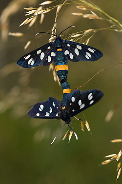 Nine Spotted (Amata phegea) butterflies mating, Beegderheide, Limburg, Nederland  -  Loek Gerris/ NiS