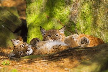Eurasian Lynx (Lynx lynx) juveniles, Sweden  -  Heike Odermatt