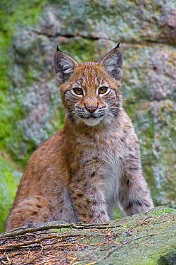 Eurasian Lynx (Lynx lynx) young, Sweden  -  Heike Odermatt