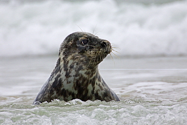 Grey Seal (Halichoerus grypus) young in the surf, Helgoland Island, Germany, North Sea  -  Heike Odermatt